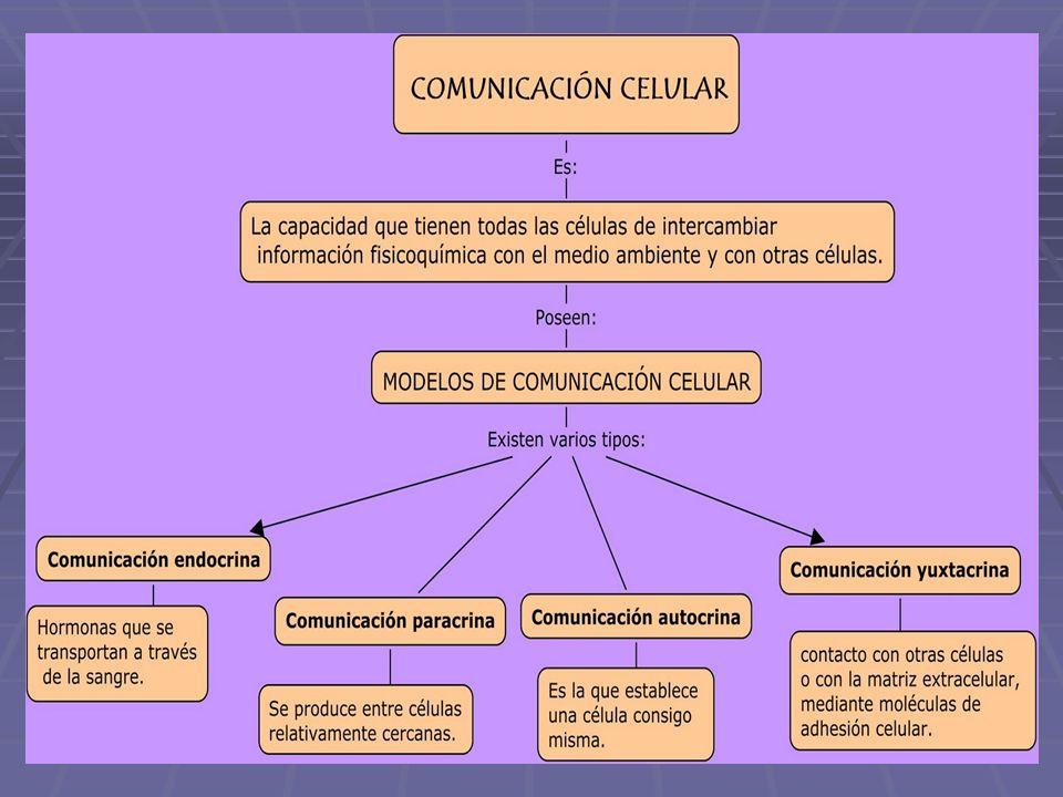 Tipos de señalización celular Paracrina: la señal Paracrina: la señal actúa sobre células actúa sobre células vecinas, Ej: sinápsis vecinas, Ej: sinápsis Endocrina: la señal viaja por el torrente sanguíneo y alcanza células lejanas;
