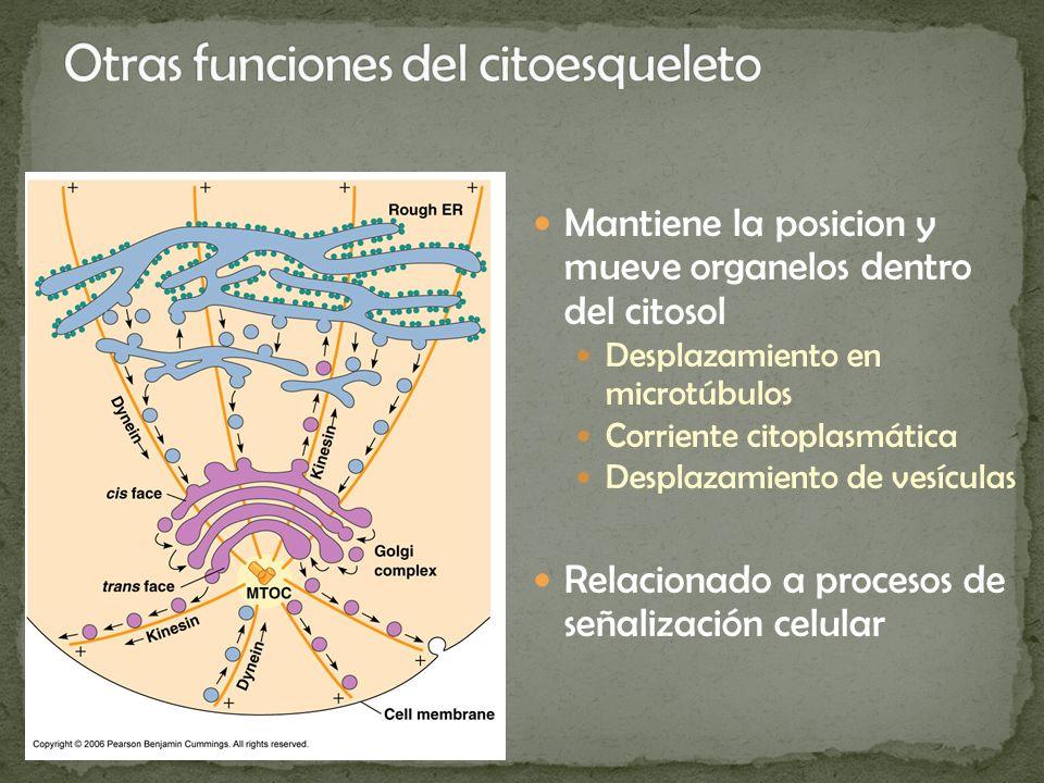 Mantiene la posicion y mueve organelos dentro del citosol Desplazamiento en microtúbulos Corriente citoplasmática Desplazamiento de vesículas Relacion