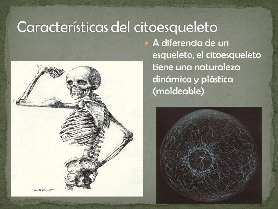 A diferencia de un esqueleto, el citoesqueleto tiene una naturaleza dinámica y plástica (moldeable)
