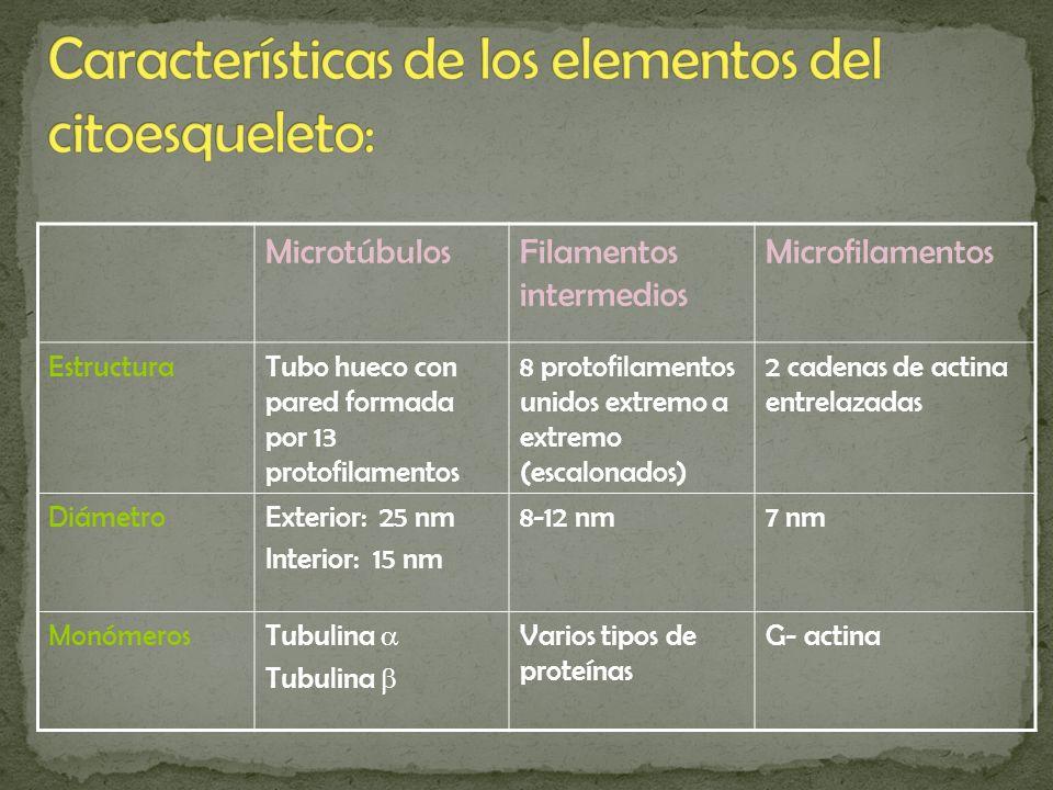 MicrotúbulosFilamentos intermedios Microfilamentos EstructuraTubo hueco con pared formada por 13 protofilamentos 8 protofilamentos unidos extremo a ex