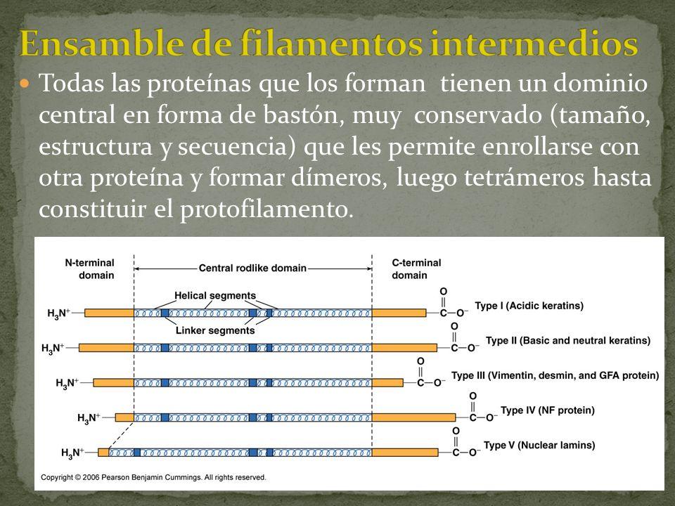 Todas las proteínas que los forman tienen un dominio central en forma de bastón, muy conservado (tamaño, estructura y secuencia) que les permite enrol