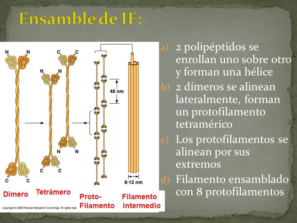 a) 2 polipéptidos se enrollan uno sobre otro y forman una hélice b) 2 dímeros se alinean lateralmente, forman un protofilamento tetramérico c) Los pro