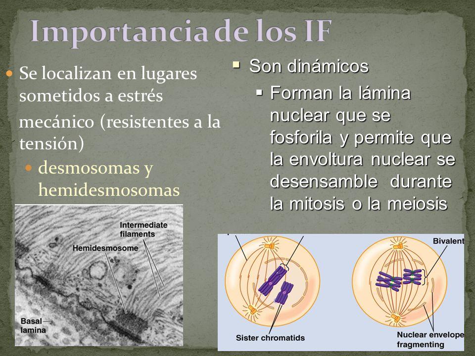 Se localizan en lugares sometidos a estrés mecánico (resistentes a la tensión) desmosomas y hemidesmosomas Son dinámicos Son dinámicos Forman la lámin