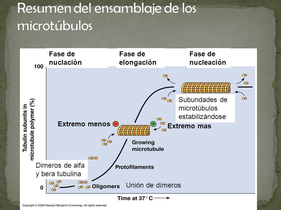 Extremo menos Extremo mas Fase de nuclaciòn Fase de elongación Fase de nucleación Dimeros de alfa y bera tubulina Unión de dímeros Subundades de micro