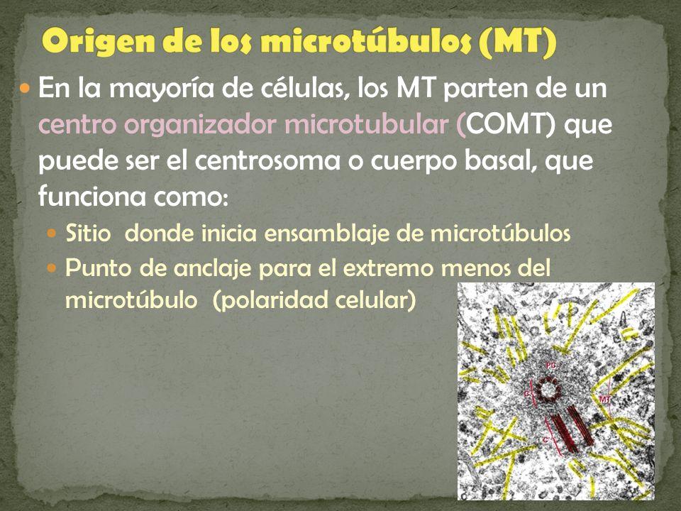 En la mayoría de células, los MT parten de un centro organizador microtubular (COMT) que puede ser el centrosoma o cuerpo basal, que funciona como: Si