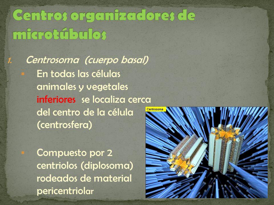 1. Centrosoma (cuerpo basal) En todas las células animales y vegetales inferiores se localiza cerca del centro de la célula (centrosfera) Compuesto po