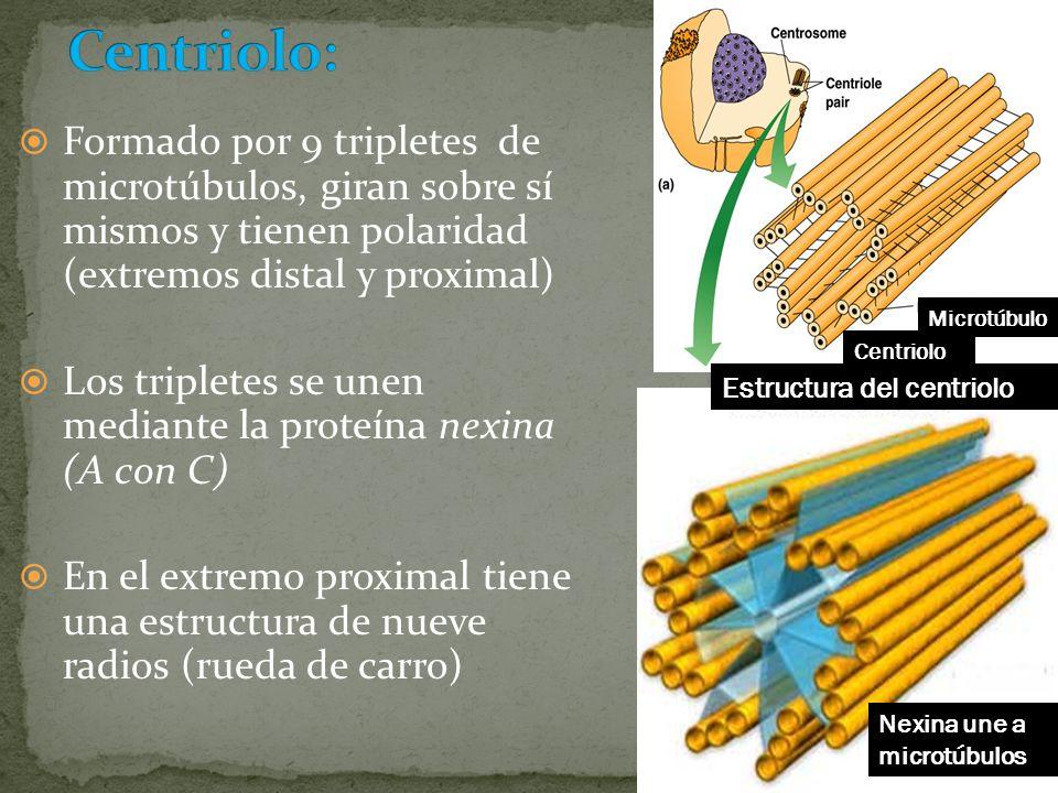 Formado por 9 tripletes de microtúbulos, giran sobre sí mismos y tienen polaridad (extremos distal y proximal) Los tripletes se unen mediante la prote