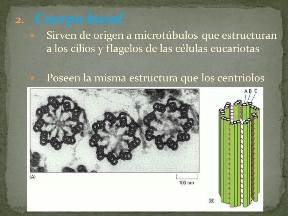2. Cuerpo basal Sirven de origen a microtúbulos que estructuran a los cilios y flagelos de las células eucariotas Poseen la misma estructura que los c