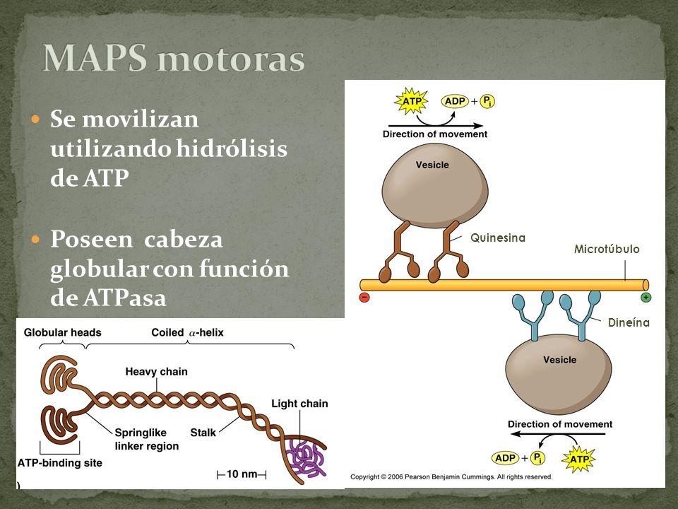 Se movilizan utilizando hidrólisis de ATP Poseen cabeza globular con función de ATPasa Microtúbulo Quinesina Dineína