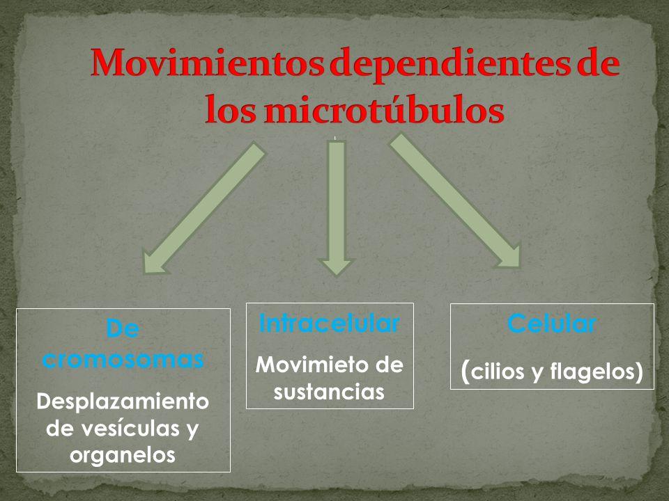 De cromosomas Desplazamiento de vesículas y organelos Intracelular Movimieto de sustancias Celular ( cilios y flagelos)
