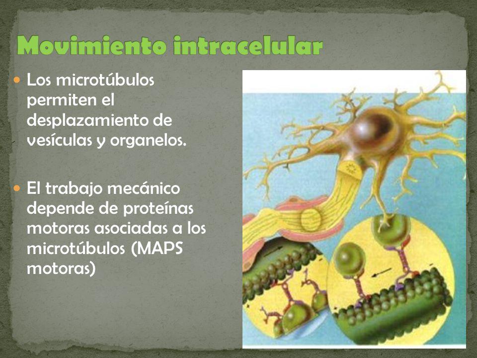 Los microtúbulos permiten el desplazamiento de vesículas y organelos. El trabajo mecánico depende de proteínas motoras asociadas a los microtúbulos (M