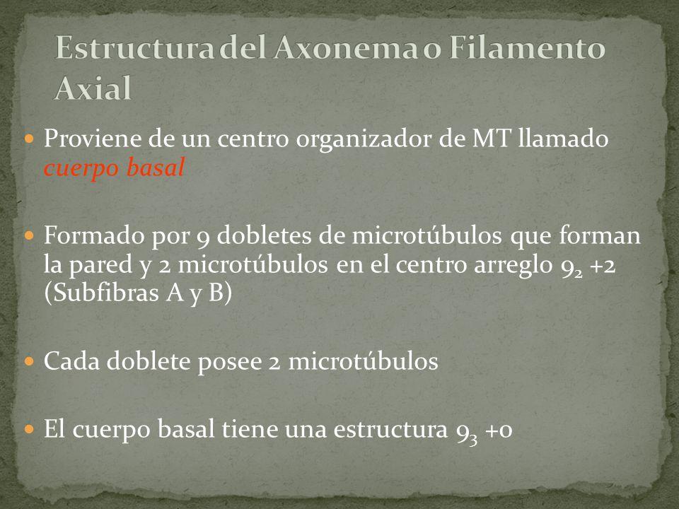 Proviene de un centro organizador de MT llamado cuerpo basal Formado por 9 dobletes de microtúbulos que forman la pared y 2 microtúbulos en el centro