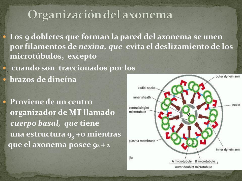 Los 9 dobletes que forman la pared del axonema se unen por filamentos de nexina, que evita el deslizamiento de los microtúbulos, excepto cuando son tr