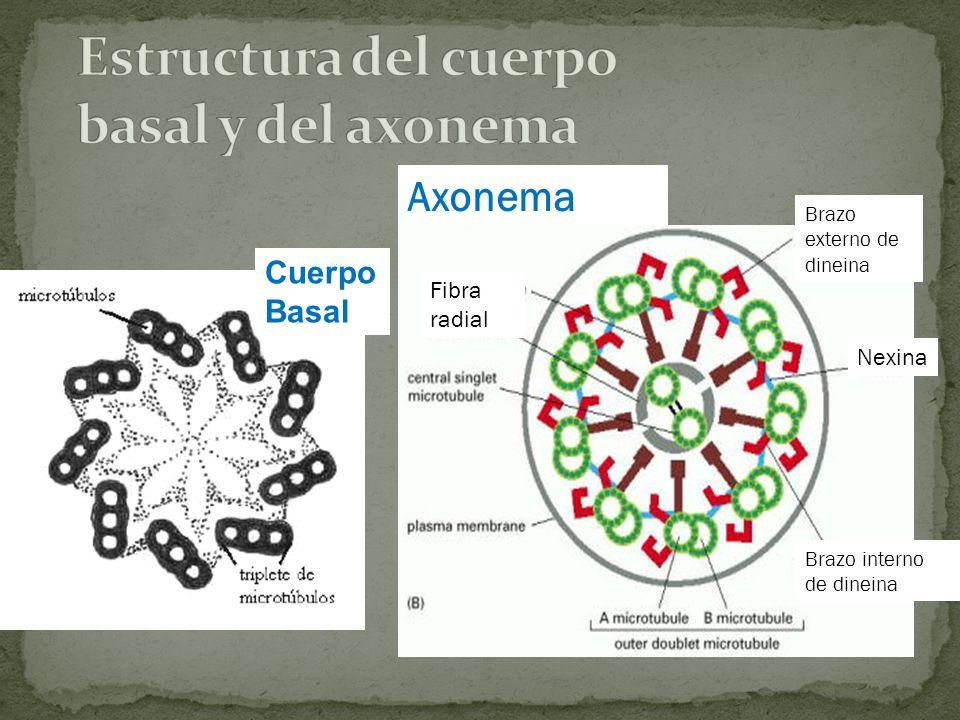 Fibra radial Nexina Brazo externo de dineina Brazo interno de dineina Axonema Cuerpo Basal