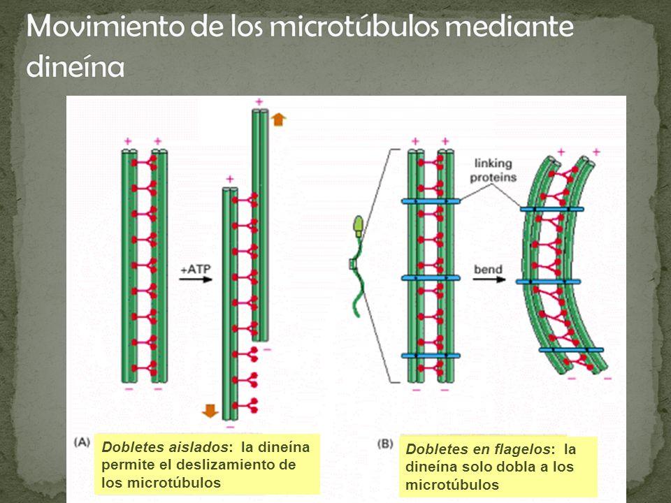 Dobletes aislados: la dineína permite el deslizamiento de los microtúbulos Dobletes en flagelos: la dineína solo dobla a los microtúbulos