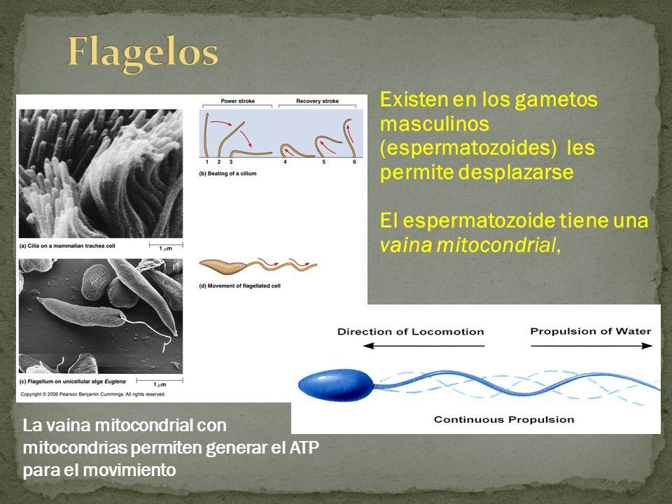 Existen en los gametos masculinos (espermatozoides) les permite desplazarse El espermatozoide tiene una vaina mitocondrial, La vaina mitocondrial con