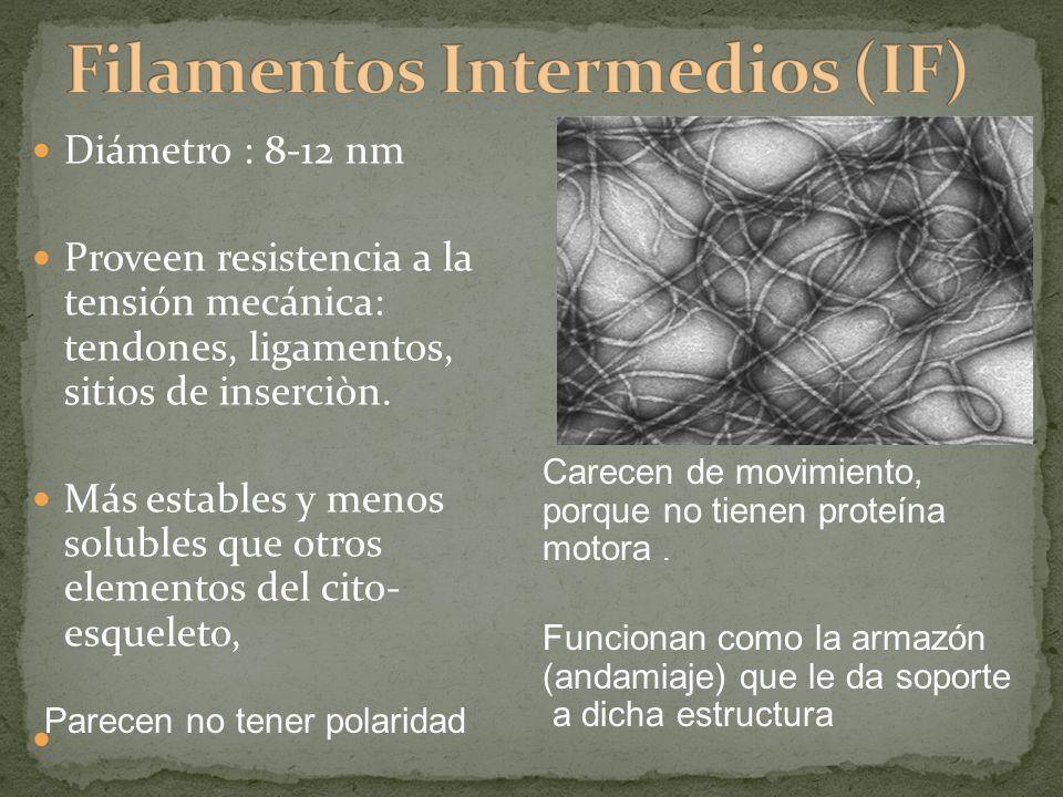 Diámetro : 8-12 nm Proveen resistencia a la tensión mecánica: tendones, ligamentos, sitios de inserciòn. Más estables y menos solubles que otros eleme