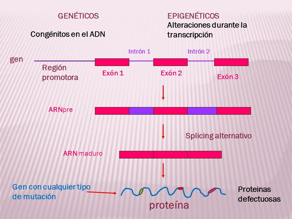 Región promotora Exón 1Exón 2 Exón 3 Intrón 1Intrón 2 proteína ARNpre ARN maduro Splicing alternativo gen GENÉTICOSEPIGENÉTICOS Congénitos en el ADN A