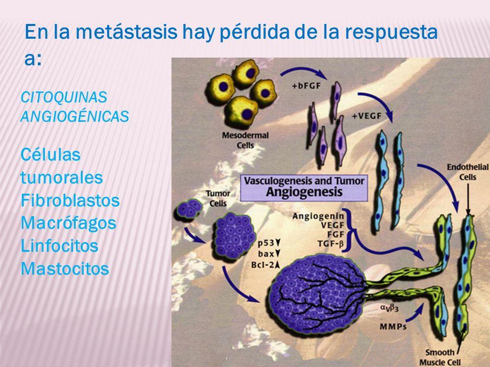 CITOQUINAS ANGIOGÉNICAS Células tumorales Fibroblastos Macrófagos Linfocitos Mastocitos En la metástasis hay pérdida de la respuesta a: