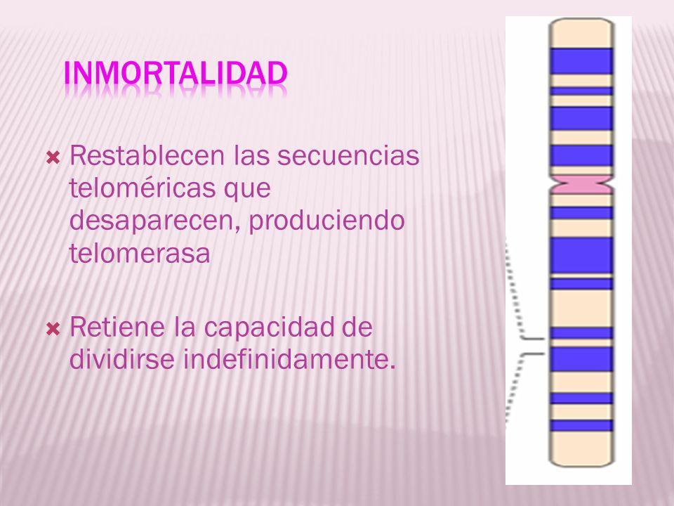 Restablecen las secuencias teloméricas que desaparecen, produciendo telomerasa Retiene la capacidad de dividirse indefinidamente.