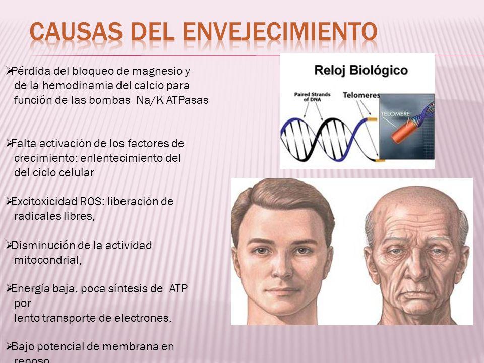 Pérdida del bloqueo de magnesio y de la hemodinamia del calcio para función de las bombas Na/K ATPasas Falta activación de los factores de crecimiento