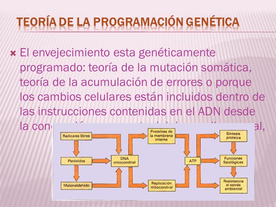 El envejecimiento esta genéticamente programado: teoría de la mutación somática, teoría de la acumulación de errores o porque los cambios celulares es
