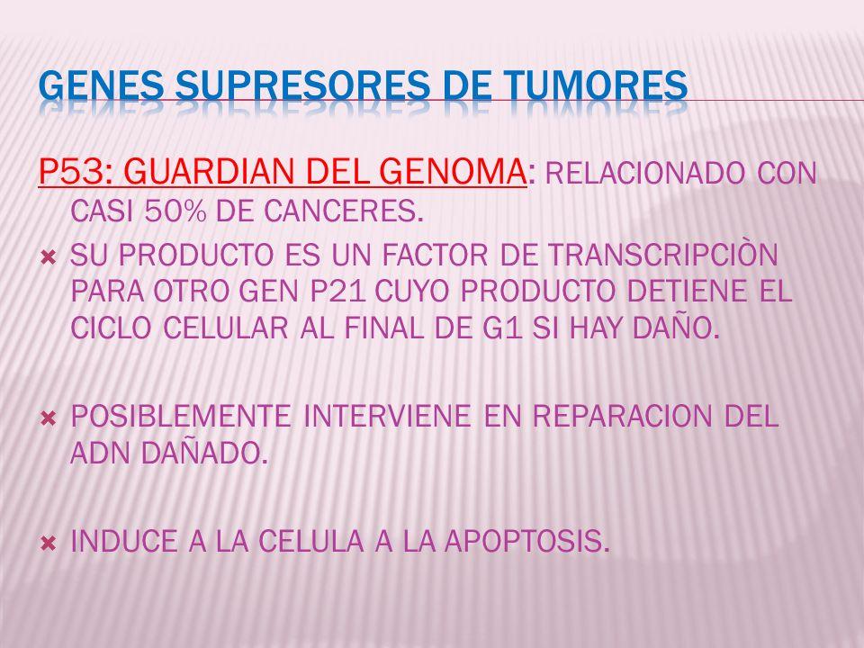 P53: GUARDIAN DEL GENOMA: RELACIONADO CON CASI 50% DE CANCERES. SU PRODUCTO ES UN FACTOR DE TRANSCRIPCIÒN PARA OTRO GEN P21 CUYO PRODUCTO DETIENE EL C