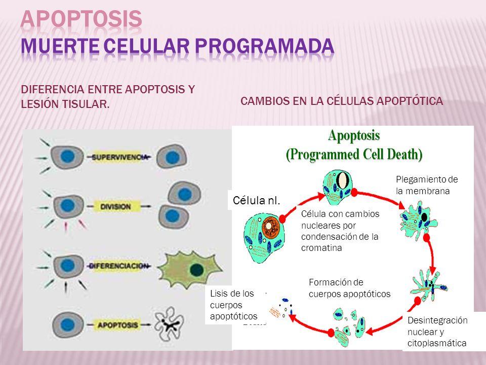 DIFERENCIA ENTRE APOPTOSIS Y LESIÓN TISULAR. CAMBIOS EN LA CÉLULAS APOPTÓTICA Formación de cuerpos apoptóticos Lisis de los cuerpos apoptóticos Célula