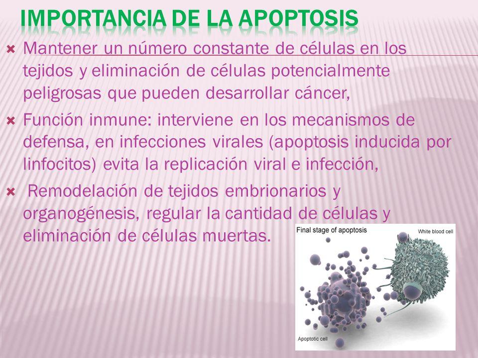 Mantener un número constante de células en los tejidos y eliminación de células potencialmente peligrosas que pueden desarrollar cáncer, Función inmun