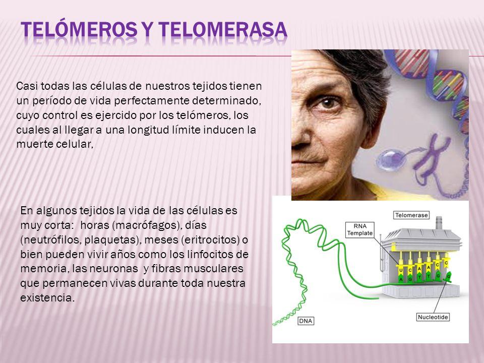 Casi todas las células de nuestros tejidos tienen un período de vida perfectamente determinado, cuyo control es ejercido por los telómeros, los cuales