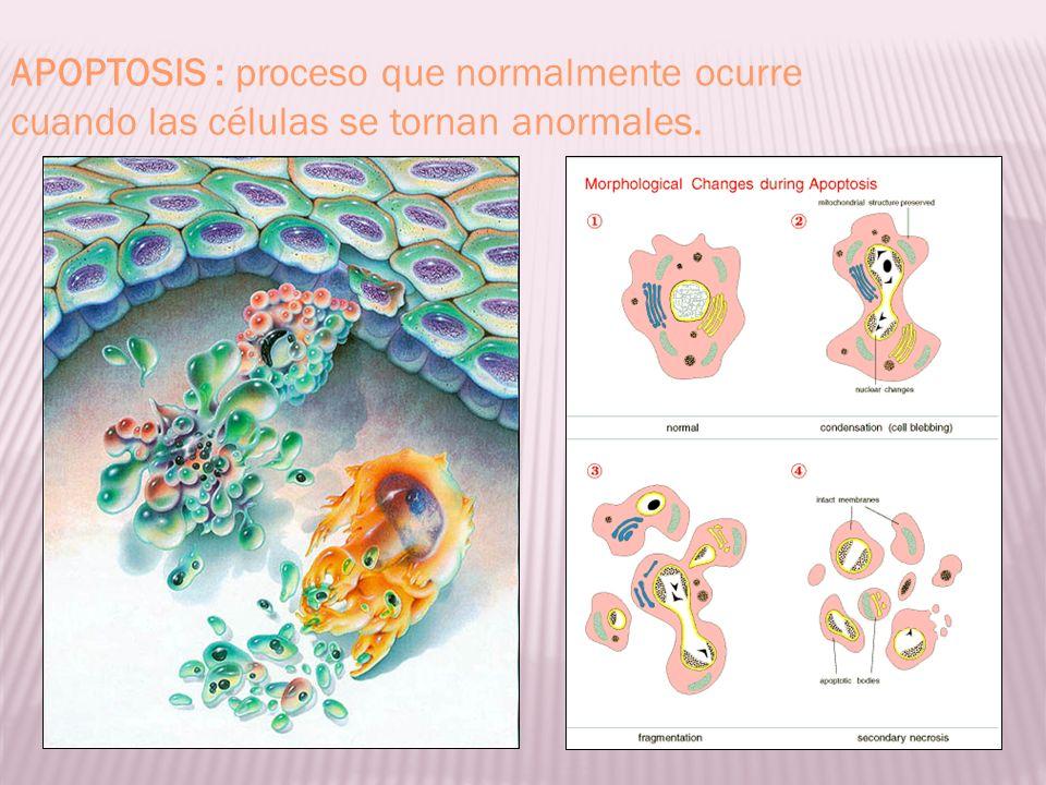 APOPTOSIS : proceso que normalmente ocurre cuando las células se tornan anormales.