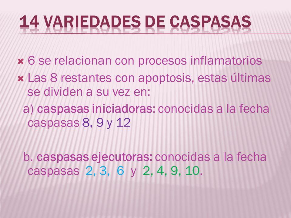 6 se relacionan con procesos inflamatorios Las 8 restantes con apoptosis, estas últimas se dividen a su vez en: a) caspasas iniciadoras: conocidas a l