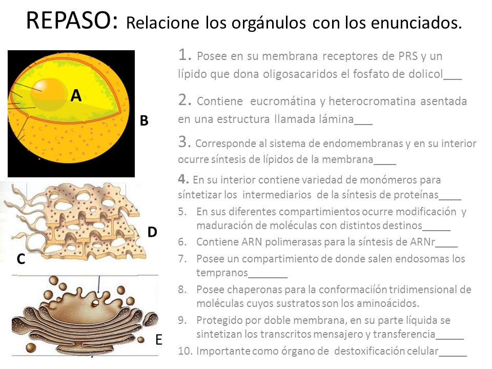 REPASO: Relacione los orgánulos con los enunciados. 1. Posee en su membrana receptores de PRS y un lípido que dona oligosacaridos el fosfato de dolico