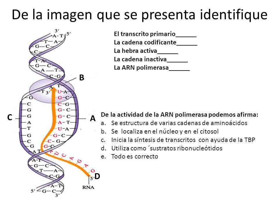 De la imagen que se presenta identifique A B C D El transcrito primario______ La cadena codificante______ La hebra activa______ La cadena inactiva______ La ARN polimerasa______ De la actividad de la ARN polimerasa podemos afirma: a.Se estructura de varias cadenas de aminoácidos b.Se localiza en el núcleo y en el citosol c.Inicia la síntesis de transcritos con ayuda de la TBP d.Utiliza como ´sustratos ribonucleótidos e.Todo es correcto