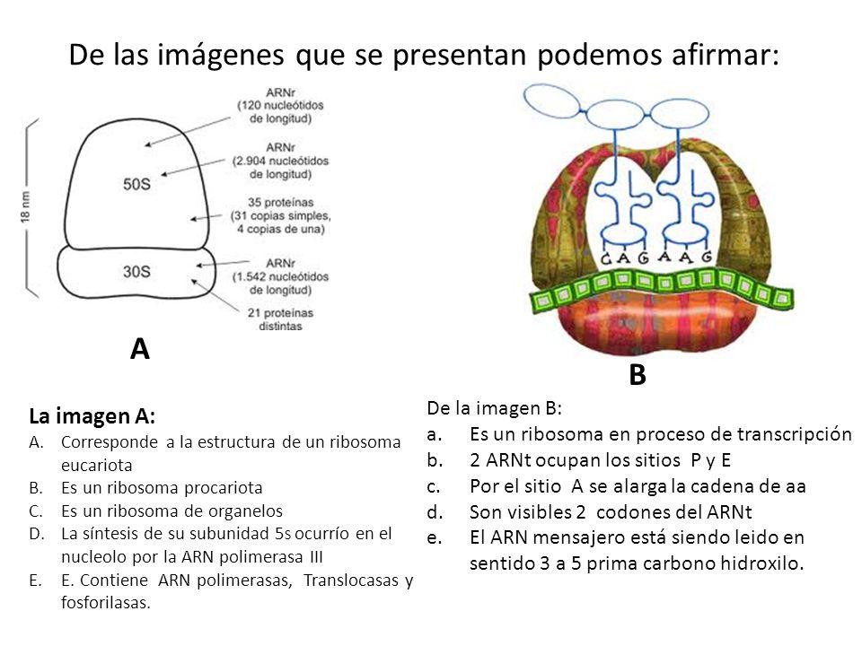 De las imágenes que se presentan podemos afirmar: La imagen A: A.Corresponde a la estructura de un ribosoma eucariota B.Es un ribosoma procariota C.Es un ribosoma de organelos D.La síntesis de su subunidad 5 S ocurrío en el nucleolo por la ARN polimerasa III E.E.