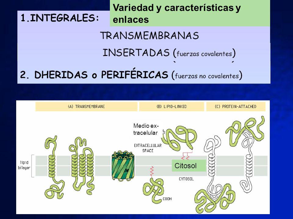 Citosol Medio ex- tracelular Variedad y características y enlaces