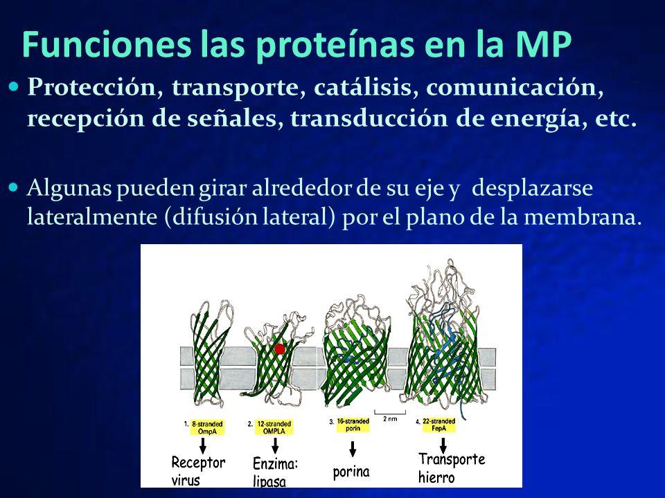 Funciones las proteínas en la MP Protección, transporte, catálisis, comunicación, recepción de señales, transducción de energía, etc. Algunas pueden g