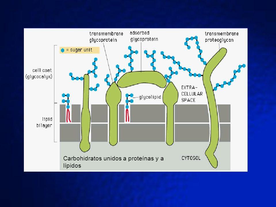 Carbohidratos unidos a proteínas y a lípidos