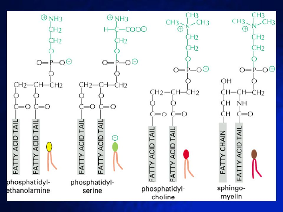 FOSFOLÍPIDOS DE LA MEMBRANA CELULAR En la membrana de la célula eucariota encontramos tres tipos de lípidos: fosfolípidos, glucolípidos y colesterol.