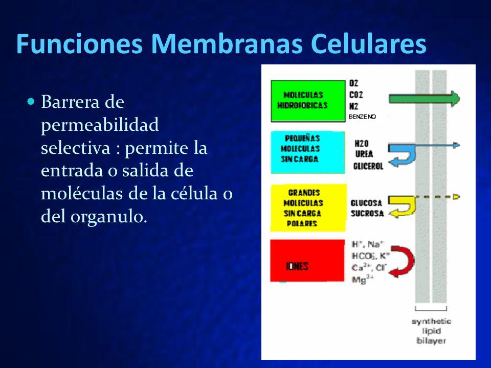 Funciones Membranas Celulares Barrera de permeabilidad selectiva : permite la entrada o salida de moléculas de la célula o del organulo.