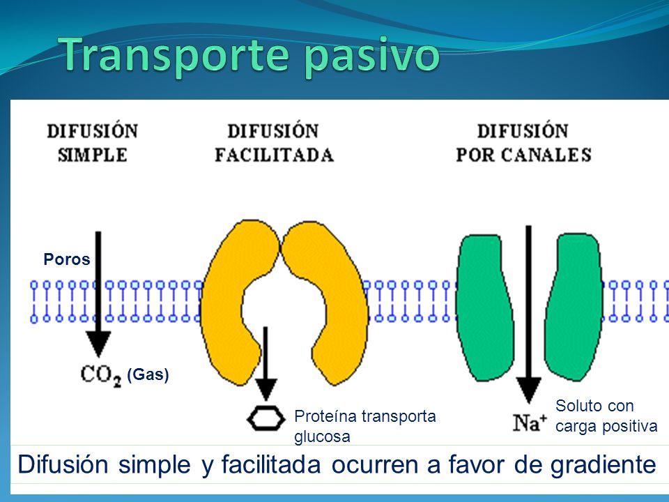 Difusión simple y facilitada ocurren a favor de gradiente Poros (Gas) Proteína transporta glucosa Soluto con carga positiva