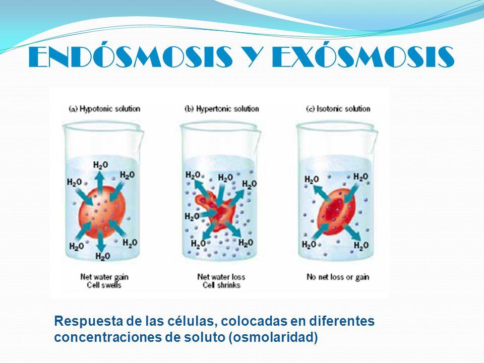 ENDÓSMOSIS Y EXÓSMOSIS Respuesta de las células, colocadas en diferentes concentraciones de soluto (osmolaridad)