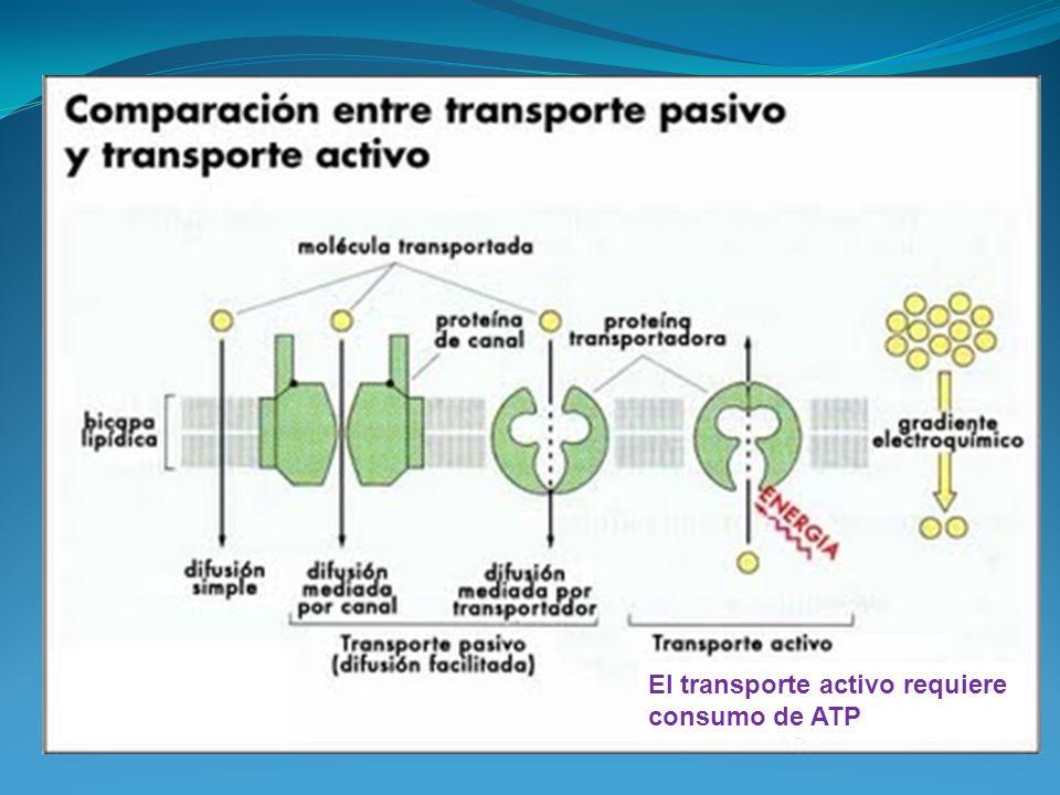 El transporte activo requiere consumo de ATP