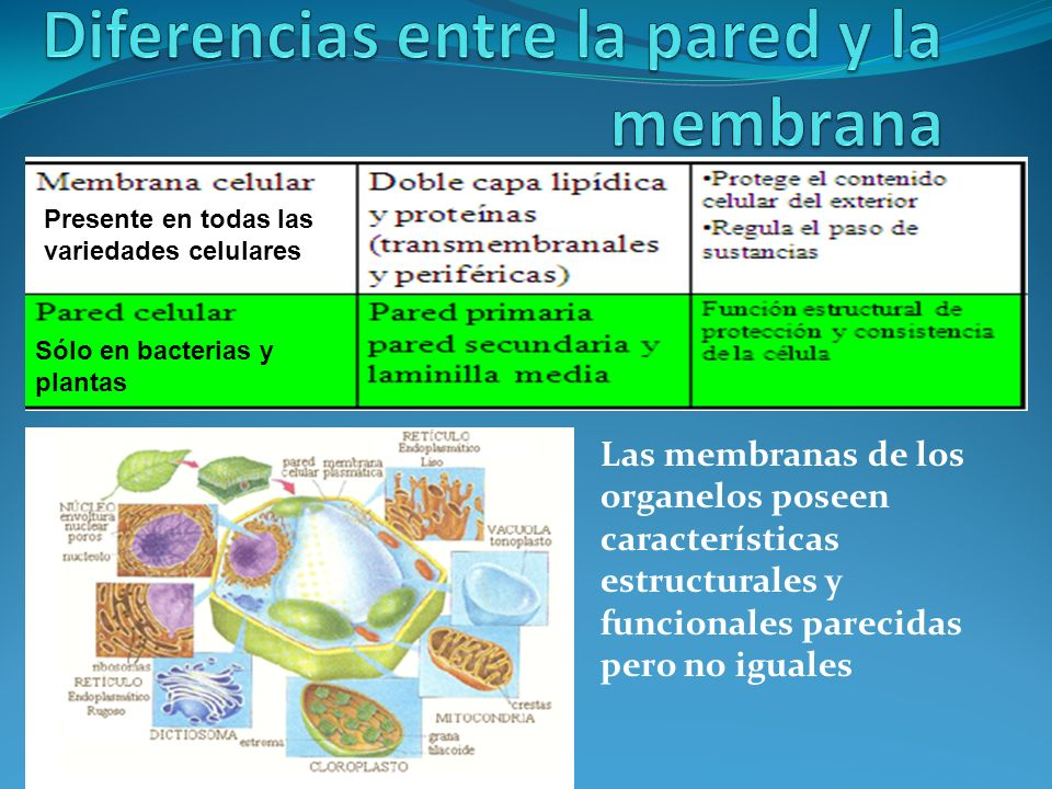 Las membranas de los organelos poseen características estructurales y funcionales parecidas pero no iguales Sólo en bacterias y plantas Presente en to