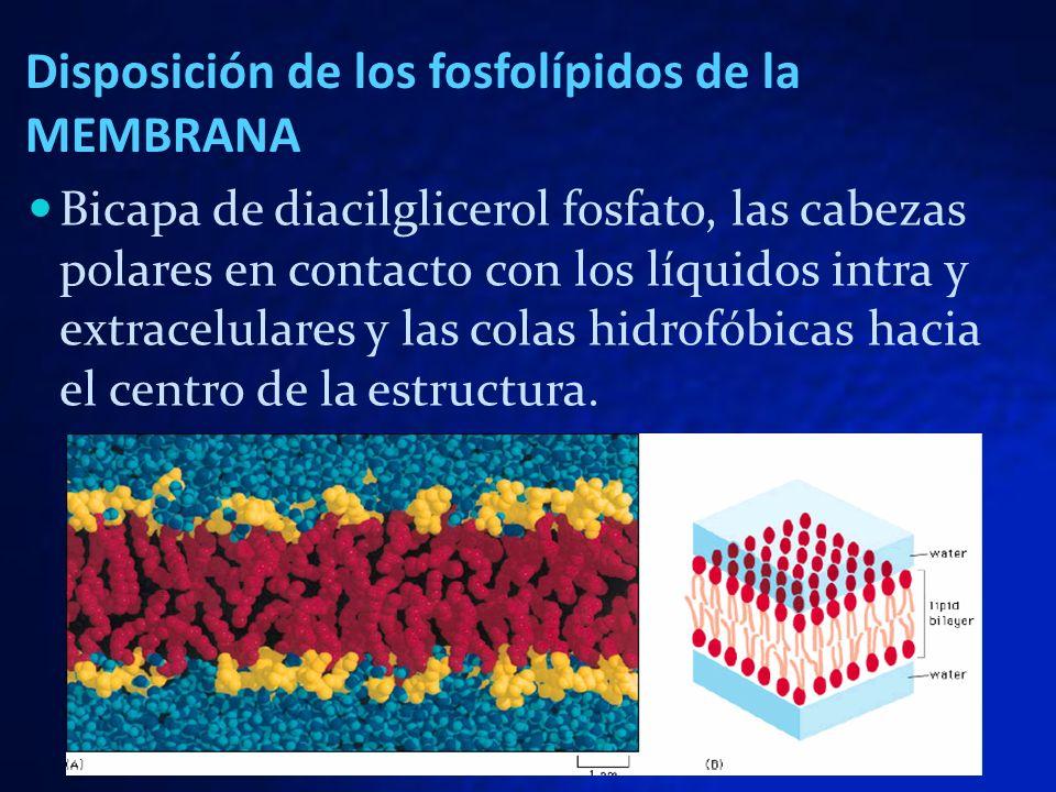 Disposición de los fosfolípidos de la MEMBRANA Bicapa de diacilglicerol fosfato, las cabezas polares en contacto con los líquidos intra y extracelular