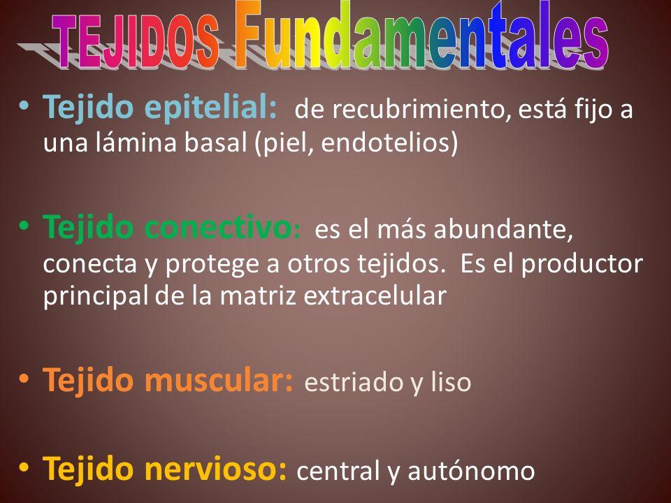 Tejido epitelial: de recubrimiento, está fijo a una lámina basal (piel, endotelios) Tejido conectivo : es el más abundante, conecta y protege a otros