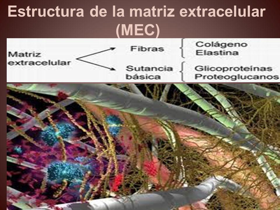 Estructura de la matriz extracelular (MEC)