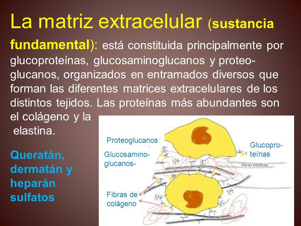 La matriz extracelular (sustancia fundamental): está constituida principalmente por glucoproteínas, glucosaminoglucanos y proteo- glucanos, organizado
