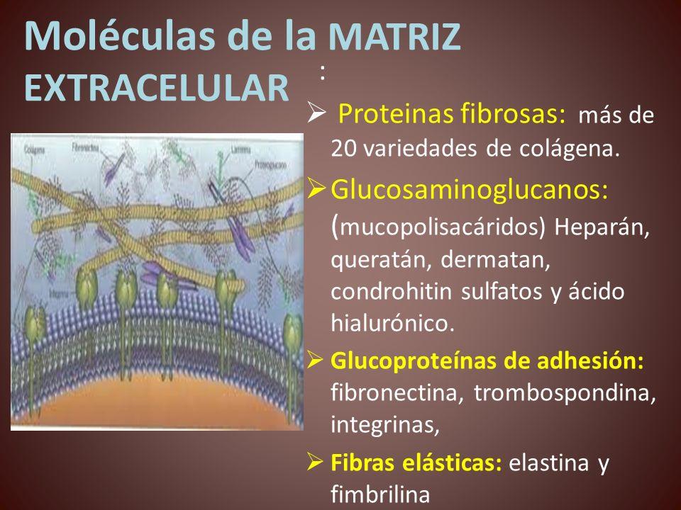Moléculas de la MATRIZ EXTRACELULAR : Proteinas fibrosas: más de 20 variedades de colágena. Glucosaminoglucanos: ( mucopolisacáridos) Heparán, queratá