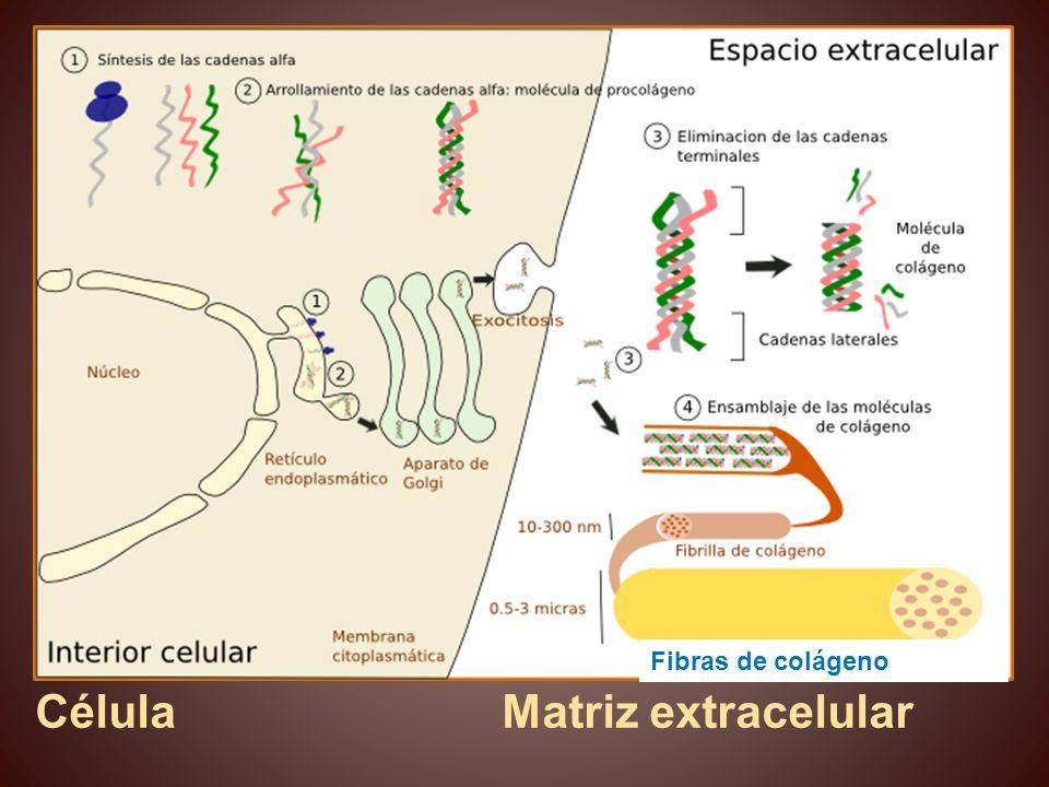 Célula Matriz extracelular Fibras de colágeno